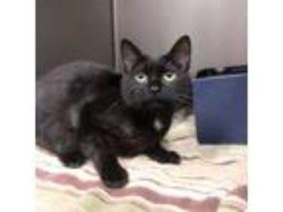 Adopt Sissy a All Black Domestic Shorthair / Domestic Shorthair / Mixed cat in