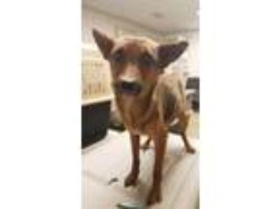 Adopt Foxy a Red/Golden/Orange/Chestnut Shiba Inu / Mixed dog in Brownwood