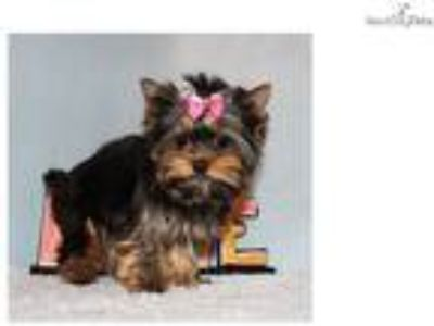 Micro Tiny Teacup Yorkie Puppy Girl (Bella)