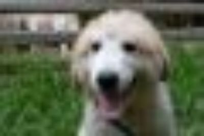 Albert Great Pyrenees Dog