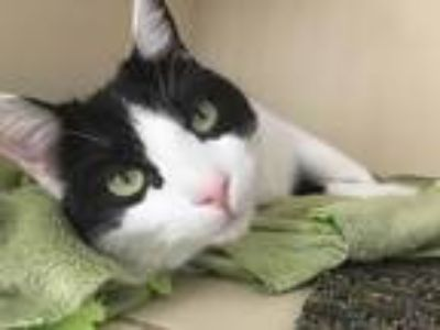 Adopt Bandito a Black & White or Tuxedo American Shorthair (short coat) cat in