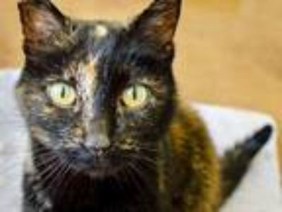 Adopt Lila a Tortoiseshell Domestic Shorthair (short coat) cat in Novato