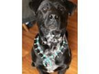 Adopt Cody a Black - with White Labrador Retriever / Blue Lacy/Texas Lacy dog in