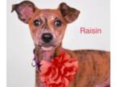 Adopt Raisin Rico a Brindle Terrier (Unknown Type, Medium) / Mixed dog in Fort