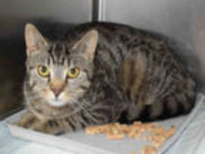 Adopt RACHEL a Brown Tabby Domestic Shorthair / Mixed (short coat) cat in