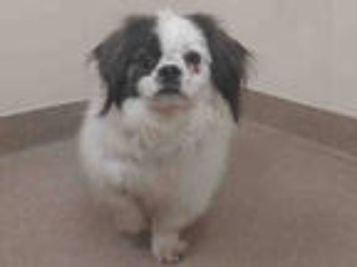 Adopt OREO a White - with Brown or Chocolate Shih Tzu / Mixed dog in Aurora