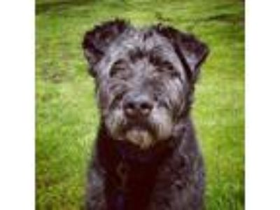 Adopt Bullet a Black - with Gray or Silver Giant Schnauzer / Mixed dog in