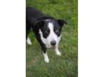 Adopt Cannon a Black Border Collie / Mixed dog in Kennewick, WA (24613428)