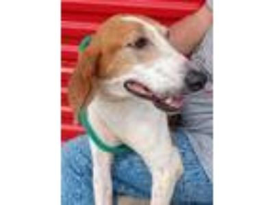 Adopt Paige a Treeing Walker Coonhound
