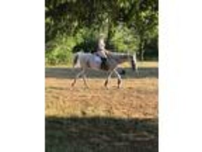 18 year old dressage jumping lesson horse off the track thoroughbred