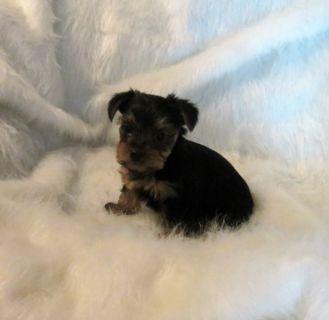 Yorkshire Terrier PUPPY FOR SALE ADN-94320 - YORKSHIRE TERRIER BABIES