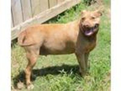 Adopt Autumn a Pit Bull Terrier, Labrador Retriever