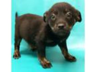Adopt Gianna a Labrador Retriever, Australian Cattle Dog / Blue Heeler