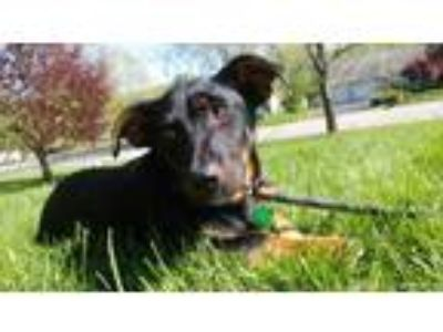Adopt Beau a Black - with Tan, Yellow or Fawn Dachshund / Beagle / Mixed dog in