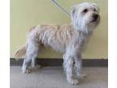 Adopt QUESADILLA a Tan/Yellow/Fawn Wheaten Terrier / Mixed dog in San Martin