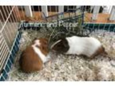Adopt Turmeric and Pepper a Guinea Pig