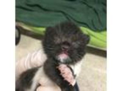 Adopt Goby a All Black Domestic Shorthair / Domestic Shorthair / Mixed cat in
