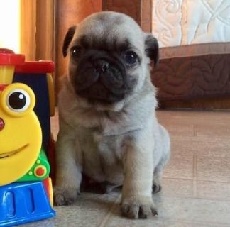 Decent Pug puppies available