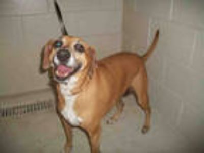 Adopt PENNY a Red/Golden/Orange/Chestnut - with White Basset Hound / Mixed dog