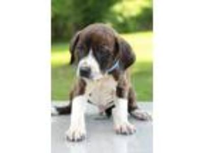 Adopt Zorro a Brindle - with White Boxer / Labrador Retriever / Mixed dog in