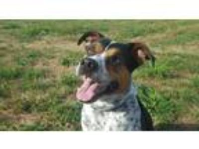 Adopt Oliver a Tricolor (Tan/Brown & Black & White) Australian Cattle Dog / Pit