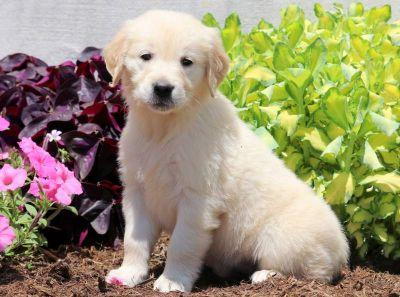 Golden Retriever PUPPY FOR SALE ADN-79212 - English Cream Golden Retriever Puppy