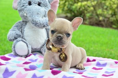 French Bulldog PUPPY FOR SALE ADN-86927 - Lilac Frenchie Female