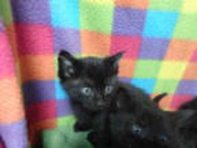 Adopt SCOUT a All Black Domestic Shorthair / Mixed (short coat) cat in
