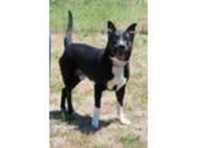 Adopt Timex a Pit Bull Terrier, Border Collie
