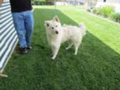 Adopt HENRY a Husky / Mixed dog in Lindsay, CA (25328565)