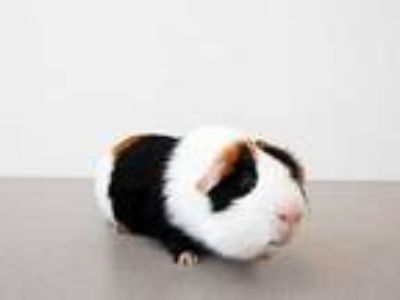Adopt PIG PIG a Black Guinea Pig / Mixed small animal in St.