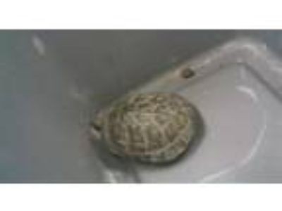 Adopt R230374 a Turtle