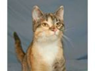 Adopt Kylie a Torbie, Domestic Short Hair