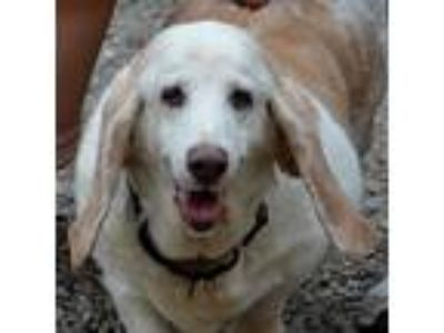 Adopt Ruthie a White Basset Hound / Terrier (Unknown Type