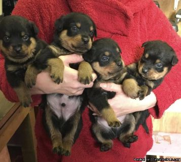 Healthy Male and Female Rottweiler puppies