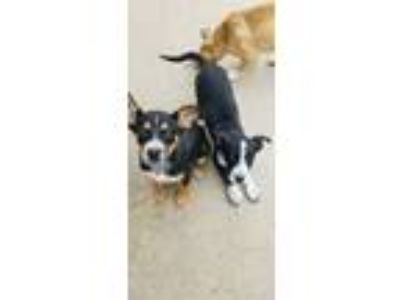 Adopt Marsh and Mellow (can be adopted together or separate) a Border Collie