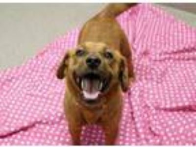Adopt Shantal a Red/Golden/Orange/Chestnut Beagle / Mixed dog in South Elgin