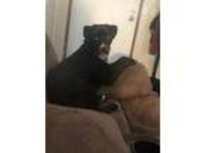 Adopt Rowdy a Black - with White Labrador Retriever / Husky dog in Walton