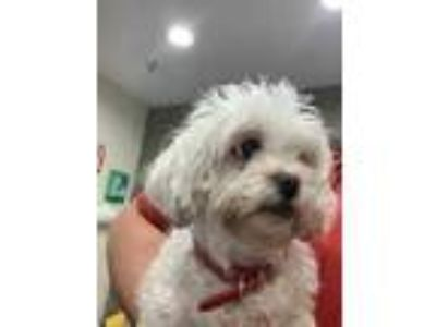 Adopt Dodie a White Shih Tzu / Mixed dog in Cincinnati, OH (25862624)