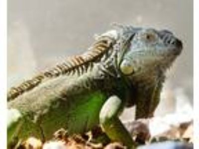 Adopt Charlie a Iguana reptile, amphibian, and/or fish in Montclair