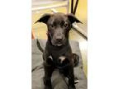 Adopt Sophie a Black - with White Boxer / Labrador Retriever / Mixed dog in