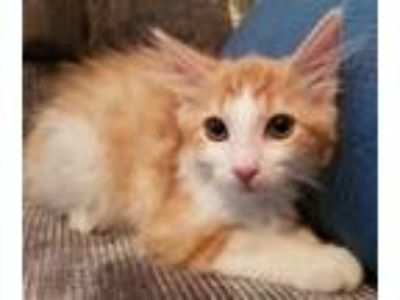 Adopt Sundance a Domestic Medium Hair