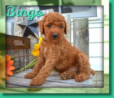 Bingo Male AKC Mini Poodle