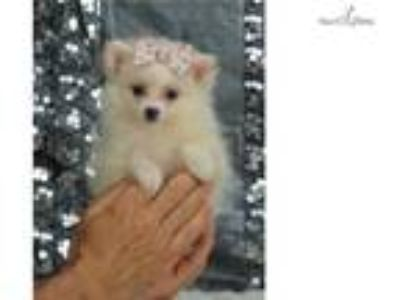 Dolly Adorable Pomeranian Puppy Ready to go CUTE!