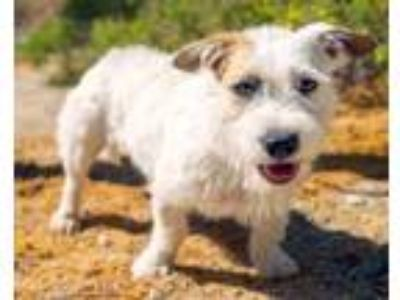 Adopt Terri a White Terrier (Unknown Type, Small) / Mixed dog in Palm Springs