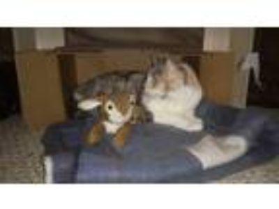 "Adopt Sabrina ""Rini"" a Calico or Dilute Calico Calico / Mixed cat in Madison"