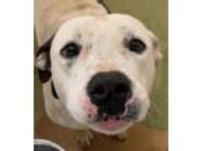 Adopt Moby a Pit Bull Terrier