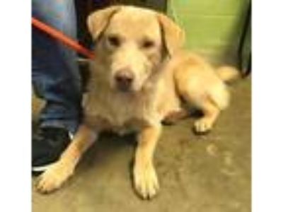 Adopt 41982383 a Red/Golden/Orange/Chestnut Golden Retriever / Mixed dog in