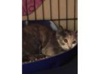 Adopt Malvina a Domestic Short Hair