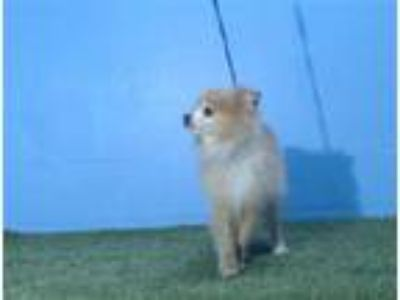 Adopt COTTON a Pomeranian